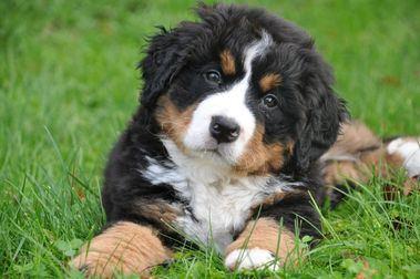 El cachorro, la importancia de su habituación a la peluquería