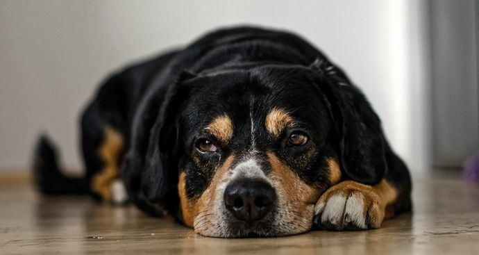 España entre los países con un mejor uso de antibióticos en medicina veterinaria en animales de compañía