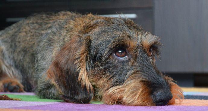 Enfermedades emergentes en mascotas que pueden afectar a otros miembros de tu familia: Rabia y Leptospirosis