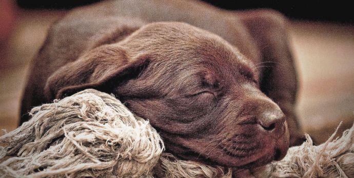 ¿Cuántas horas necesita dormir mi perro?