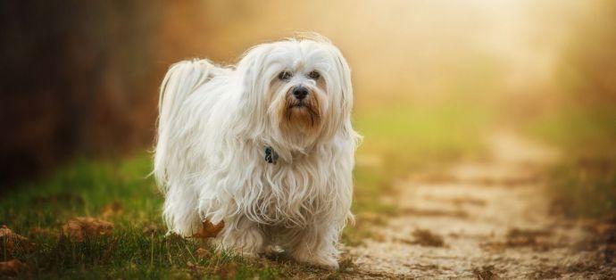 Las 10 razas de perros pequeños más populares