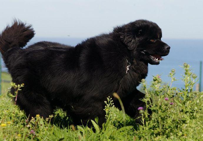 Foto Alberto Nevado - El Mundo del Perro. Ejemplar del afijo Rain Coast.