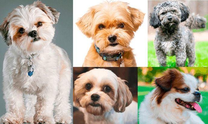 Nombres de perros de raza pequeña, para machos y hembras