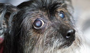 Cómo saber si tu perro tiene cataratas