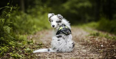 Cómo acostumbrar a tu cachorro al arnés