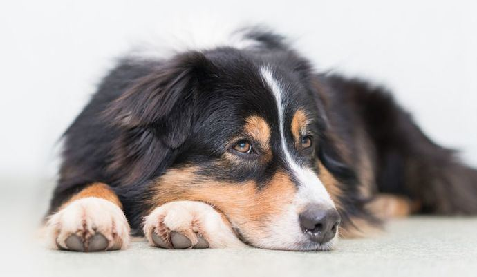 Mejora la salud de tu perro con dieta BARF