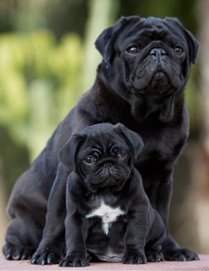 Embarazos psicológicos en perras castradas
