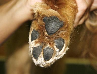Enfermedades en los perros de los pulpejos y dedos