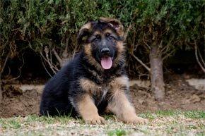 ¿Qué se debe saber antes de comprar un cachorro de Pastor Alemán?