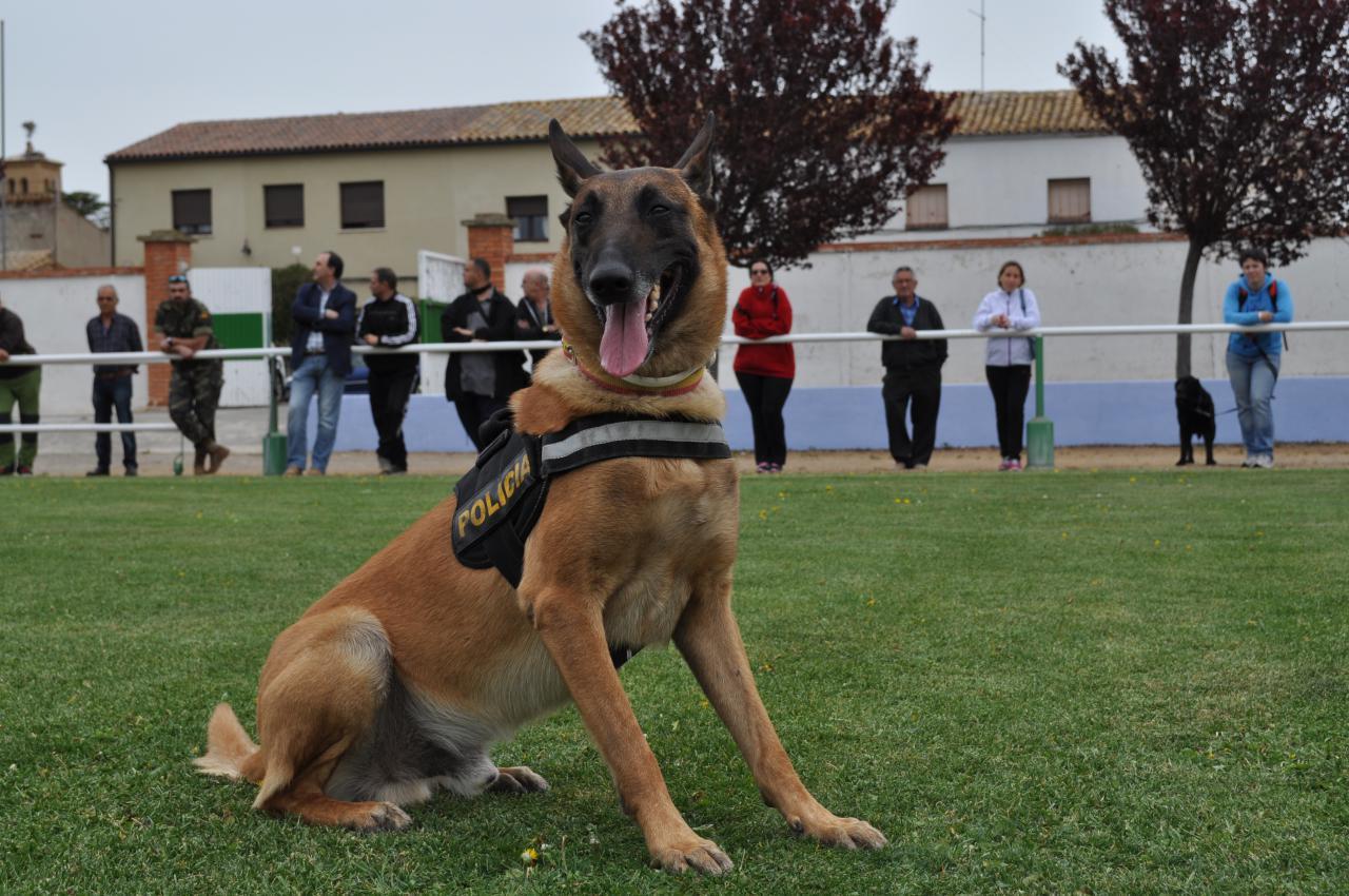 Perro policía recibiendo entrenamiento profesional