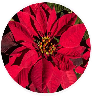 La toxicidad por plantas - Que cuidados necesita la flor de pascua ...